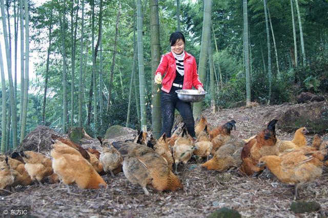 林地养鸡如何配置万博手机manbetx官网?本文给您介绍4个注意事项!